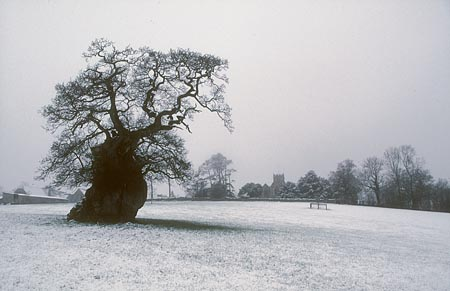 The Wyndham oak at Silton